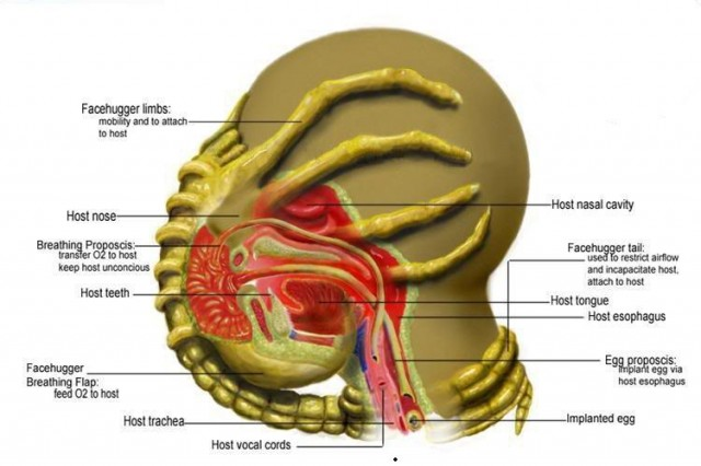 anatomic-anatimie-facehugger-alien